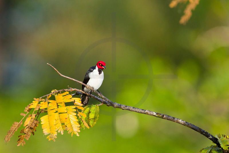 Red-capped cardinal, Cuyabeno Faunal Reserve, Ecuador