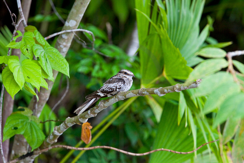 Ladder-tailed nightjar (male), Yasuni National Park, Ecuador