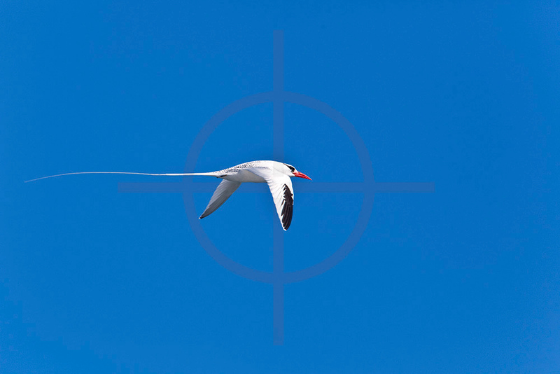 Red-billed tropicbird in flight, South Plaza, Galápagos Islands, Ecuador