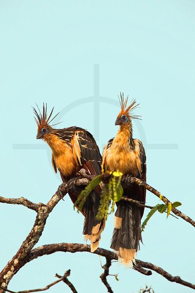 Hoatzins, Cuyabeno Faunal Reserve, Ecuador