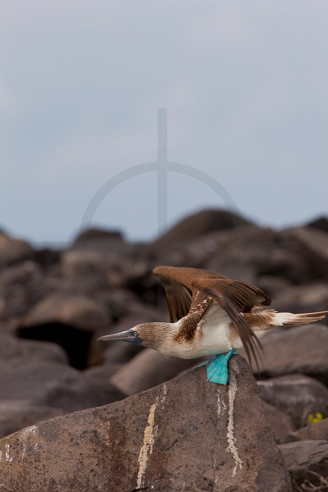 Blue-footed booby (female) taking off, Punta Suárez, Española, Galápagos Islands, Ecuador