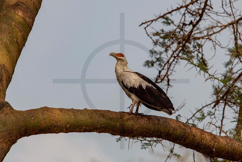 Palm-nut vulture, Kazinga Channel, Queen Elizabeth National Park, Uganda
