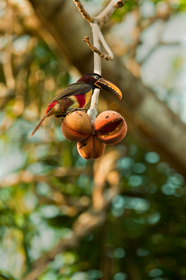 Chestnut-eared araçari eating, Pantanal, Brazil