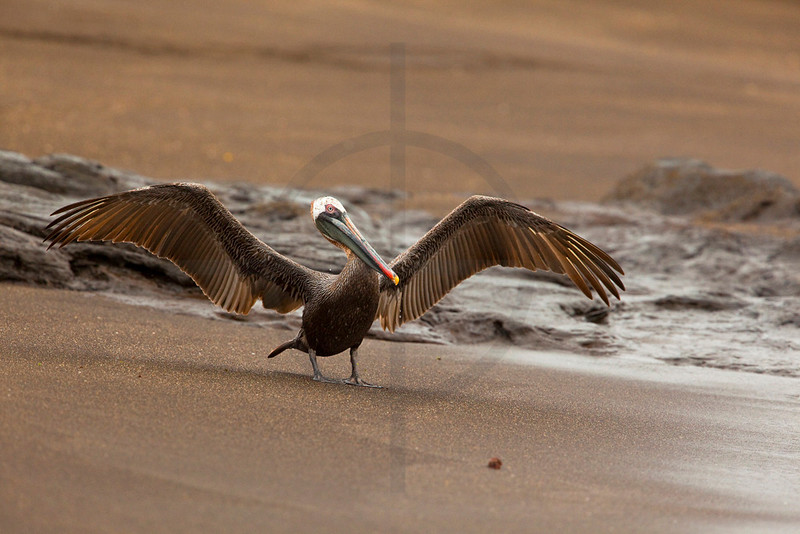 Brown pelican (adult) spreading its wings on a beach, Puerto Egas, Santiago, Galápagos Islands, Ecuador