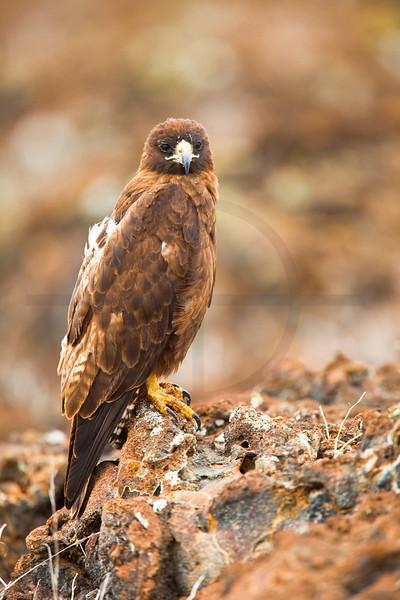 Galápagos hawk, Sombrero Chino, Galápagos Islands, Ecuador