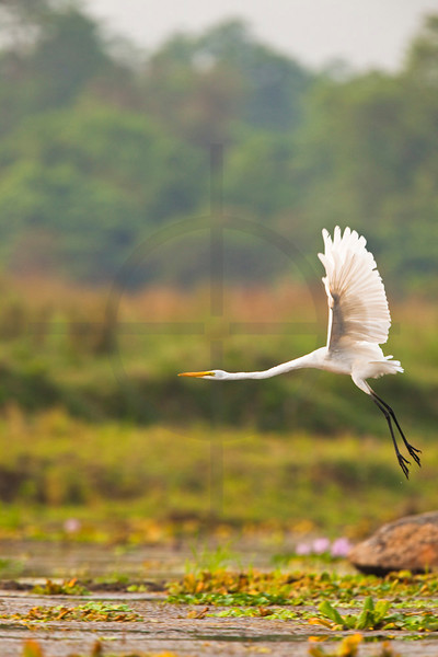 Great egret taking off, Royal Chitwan National Park, Nepal