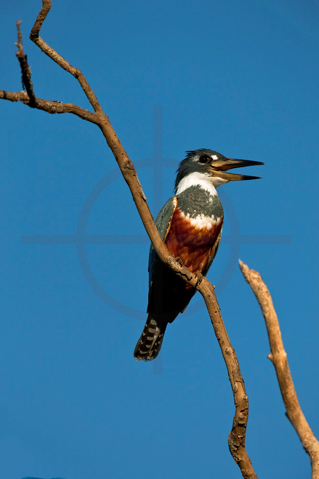 Ringed kingfisher (female), Pantanal, Brazil