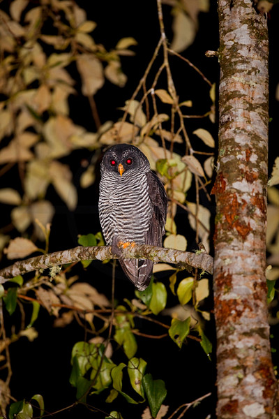 Black-banded owl at night, Cabañas San Isidro Forest Reserve, Ecuador