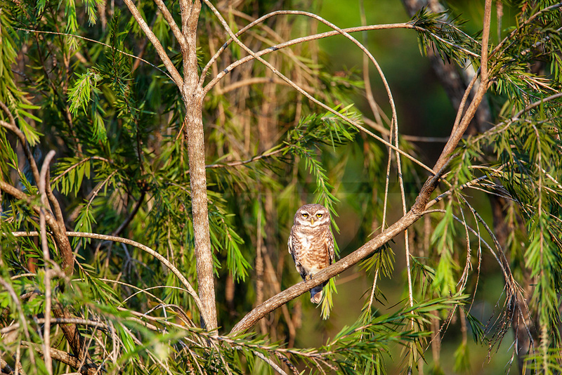 Spotted owlet, Koshi Tappu Wildlife Reserve, Eastern Terai, Nepal