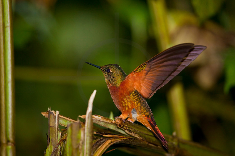 Chestnut-breasted coronet about to perch at dusk, Cabañas San Isidro Forest Reserve, Ecuador