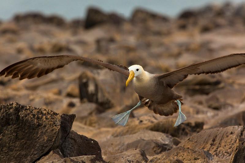 Waved albatros landing, Punta Suárez, Española, Galápagos Islands, Ecuador
