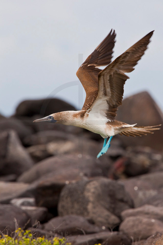 Blue-footed booby (female) taking off, Punta Suárez, Española, Galápagos Islands, Ecuador