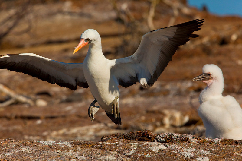 Adult Nazca booby landing near its chick, Genovesa Island, Galápagos Islands, Ecuador