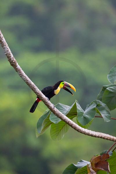 Chestnut-mandibled toucan in a cecropia tree, Osa Peninsula, Costa Rica