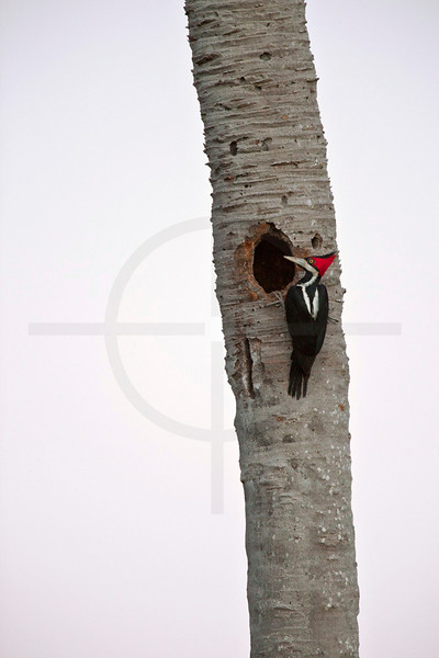 Crimson-crested woodpecker (female) at her nest on a palm tree, Pantanal, Brazil
