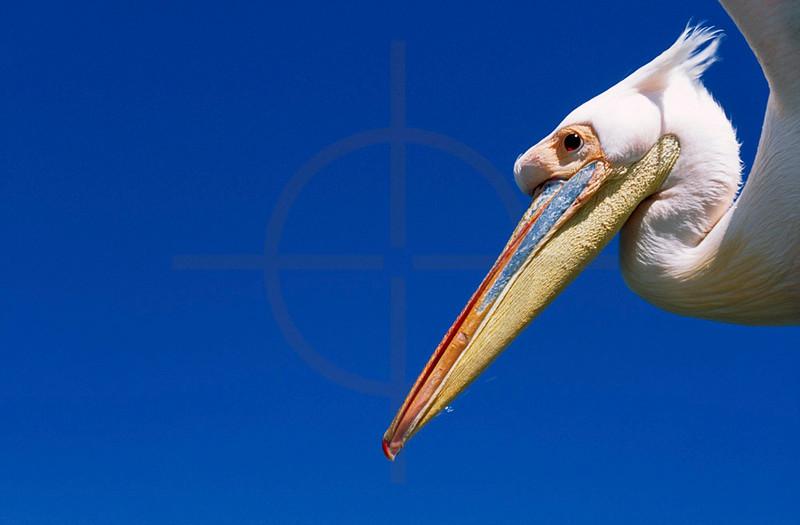 Great white pelican in flight, Atlantic Ocean near Walvis Bay, Namibia