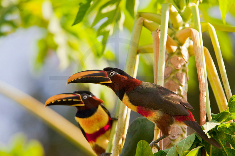 Pair of chestnut-eared araçaris in a papaya tree, Pantanal, Brazil