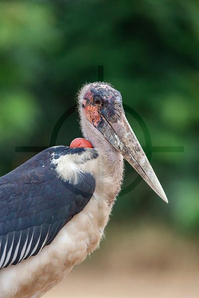 Marabou stork, Mweya Campsite, Queen Elizabeth National Park, Uganda