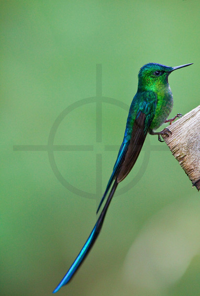 Long-tailed sylph (male) perching on a fench, Cabañas San Isidro Forest Reserve, Ecuador