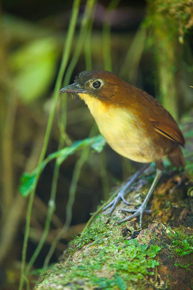 Yellow-breasted antpitta (male), Angel Paz Bird Reseerve, Ecuador