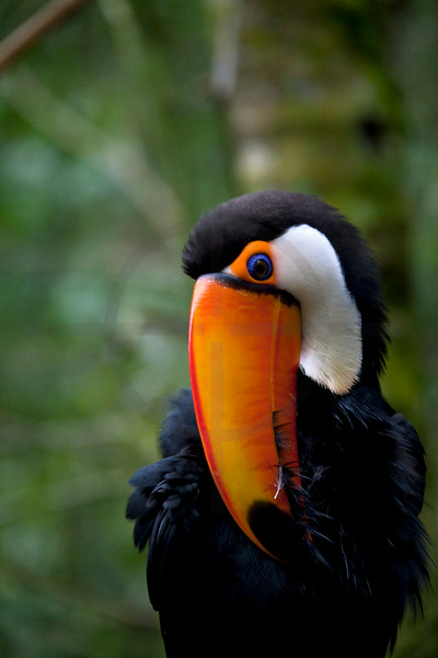 Toco toucan grooming itself, Iguazu bird park, Paraná, Brazil