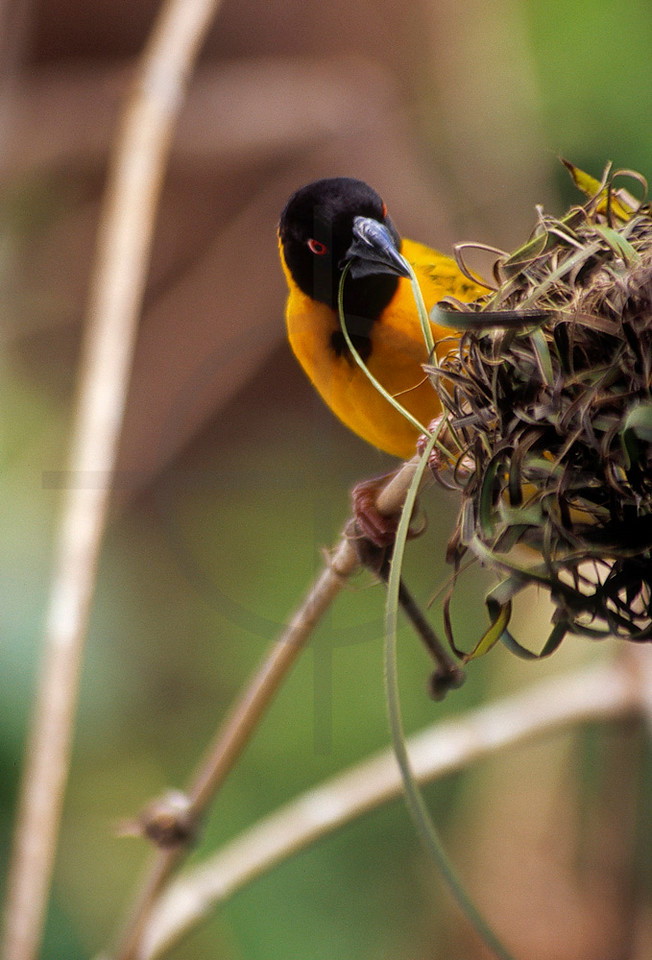 Black-headed weaver (male) building its nest, Kenyan coast near Diani Beach