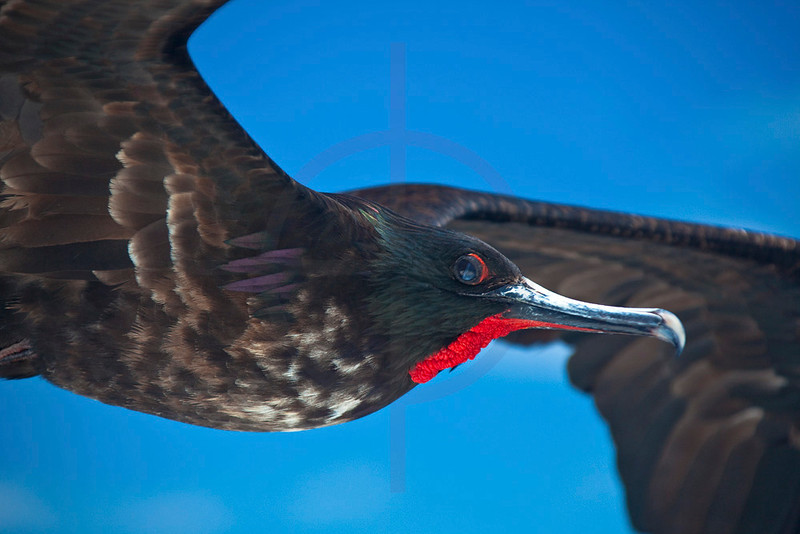 Magnificent frigatebird (male) in flight, Galápagos Islands, Ecuador