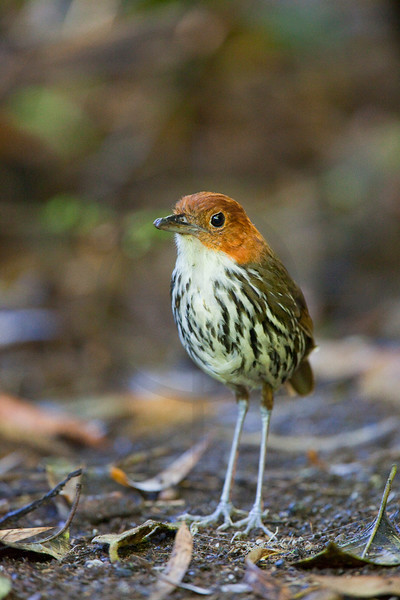 Chestnut-crowned antpitta, Cabañas San Isidro Forest Reserve, Ecuador