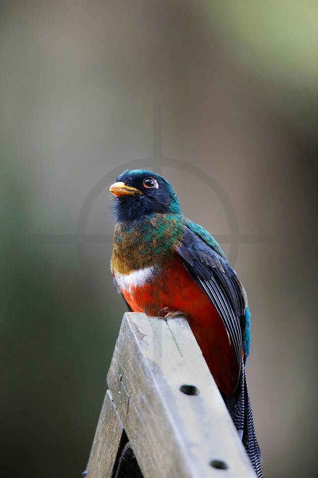 Masked trogon (juvenile male) perching of a fence, Bellavista Cloud Forest, Ecuador