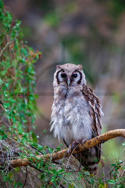Giant eagle owl, Lake Nakuru National Park, Kenya