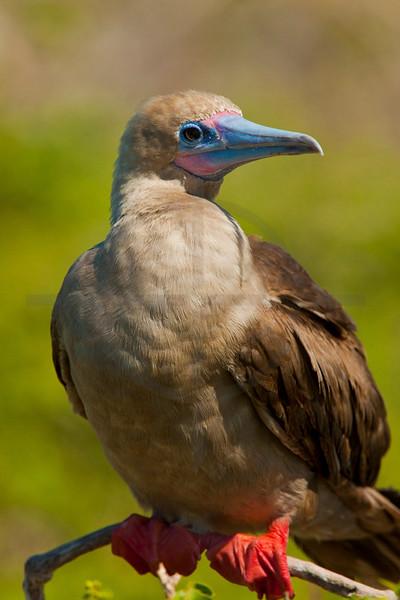 Red-footed booby, Genovesa Island, Galápagos Islands, Ecuador