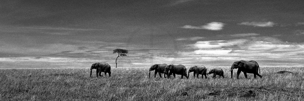 Elephant herd, Masai Mara National Reserve, Kenya