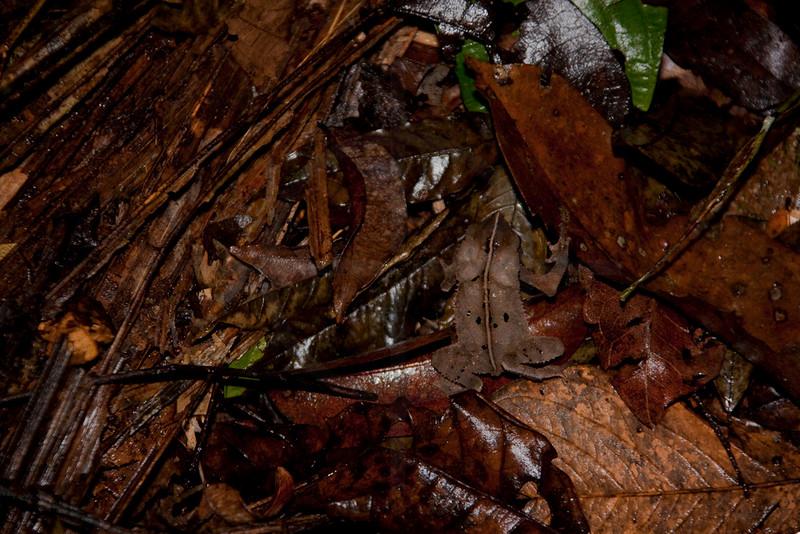Crested forest toad blending in its habitat, Yasuní National Park, Ecuador