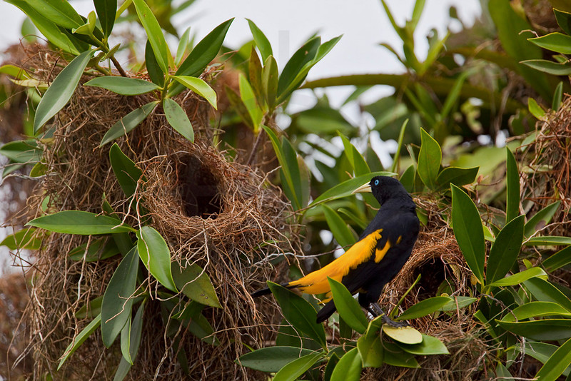 Yellow-rumped cacique at its nest, Cuyabeno Faunal Reserve, Ecuador