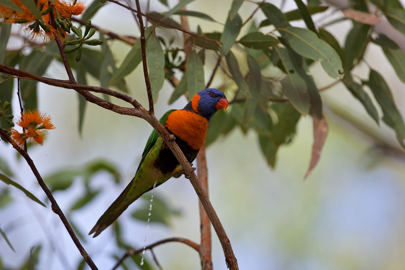 Red-collared lorikeet peeing, Nitmuluk National Park, Northern Territory, Australia