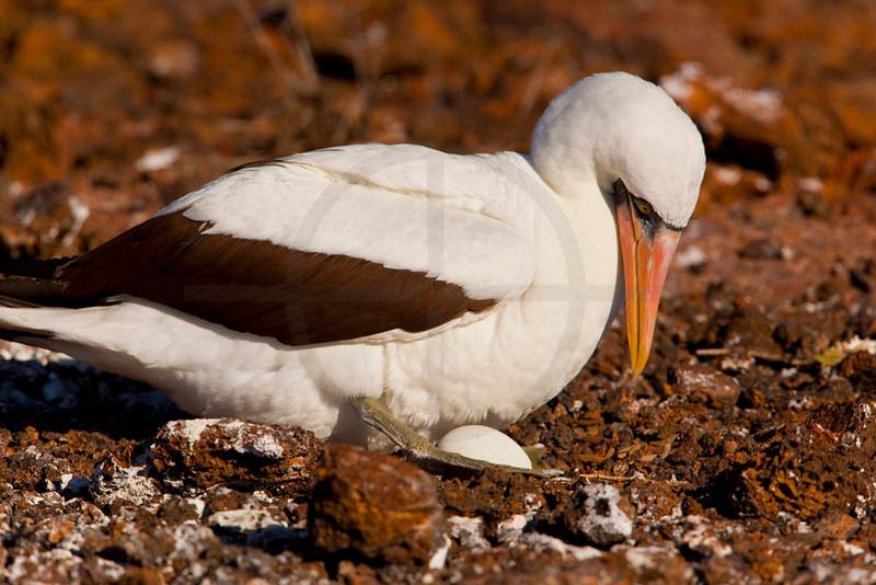 Nazca booby breeding, Genovesa Island, Galápagos Islands, Ecuador