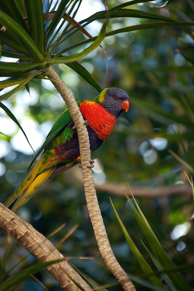 Rainbow lorikeet,  The Rocks, Sydney, New South Wales, Australia