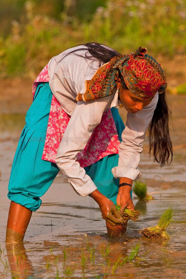 Tharu woman planting rice, Sauhara, Terai, Nepal