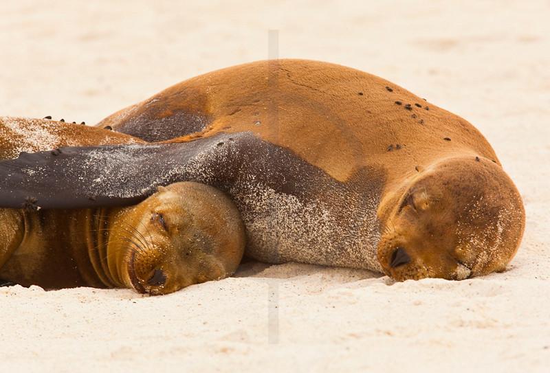 Galápagos sea lions sleeping on beach, Playa Gardner, Españoal, Galápagos Islands, Ecuador