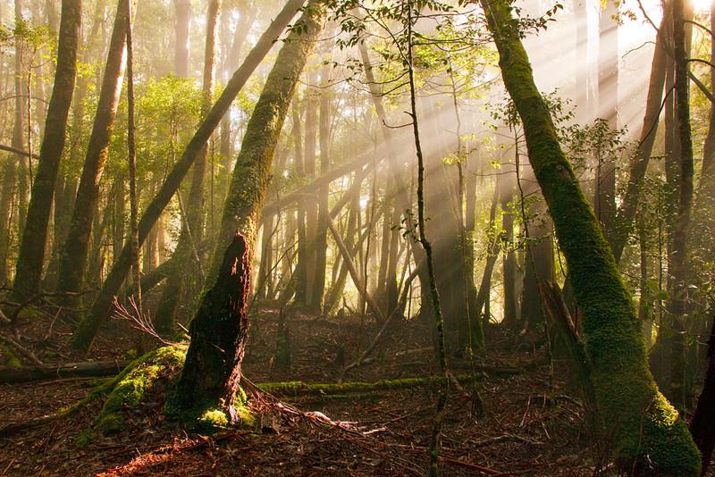 Rays of sunlight through temperate rainforest, Overland Track in between Kia Ora Creek and Windy Ridge, Cradle Mountain - Lake St Clair National Park, Tasmania, Australia