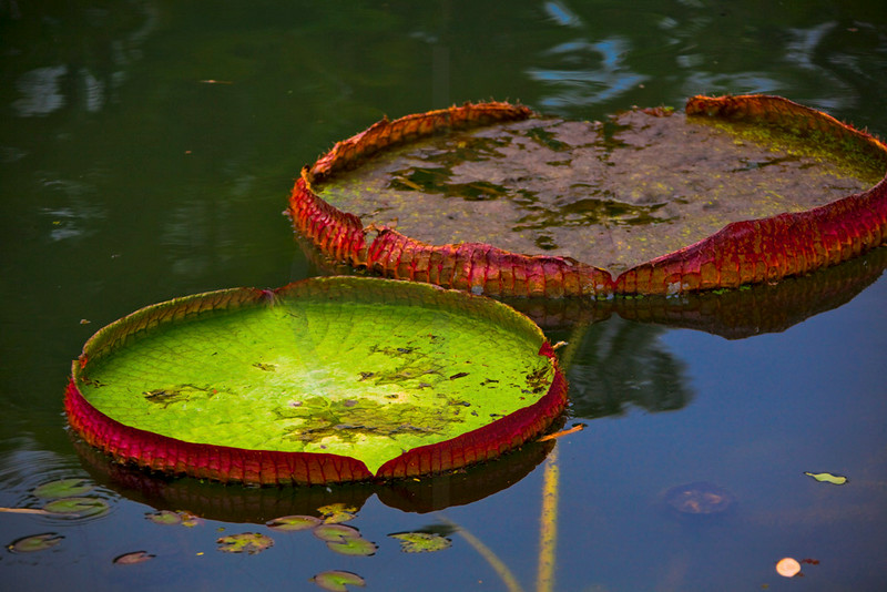 Giant water lilly, Brazil