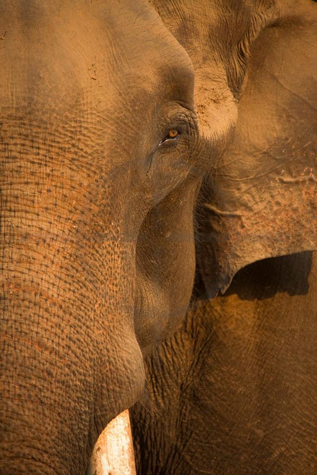Asian elephant (male),  elephant stables, Sauhara, Terai, Nepal