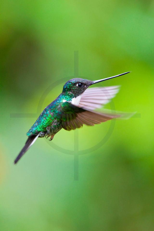Collared inca hovering, Cabañas San Isidro Forest Reserve, Ecuador