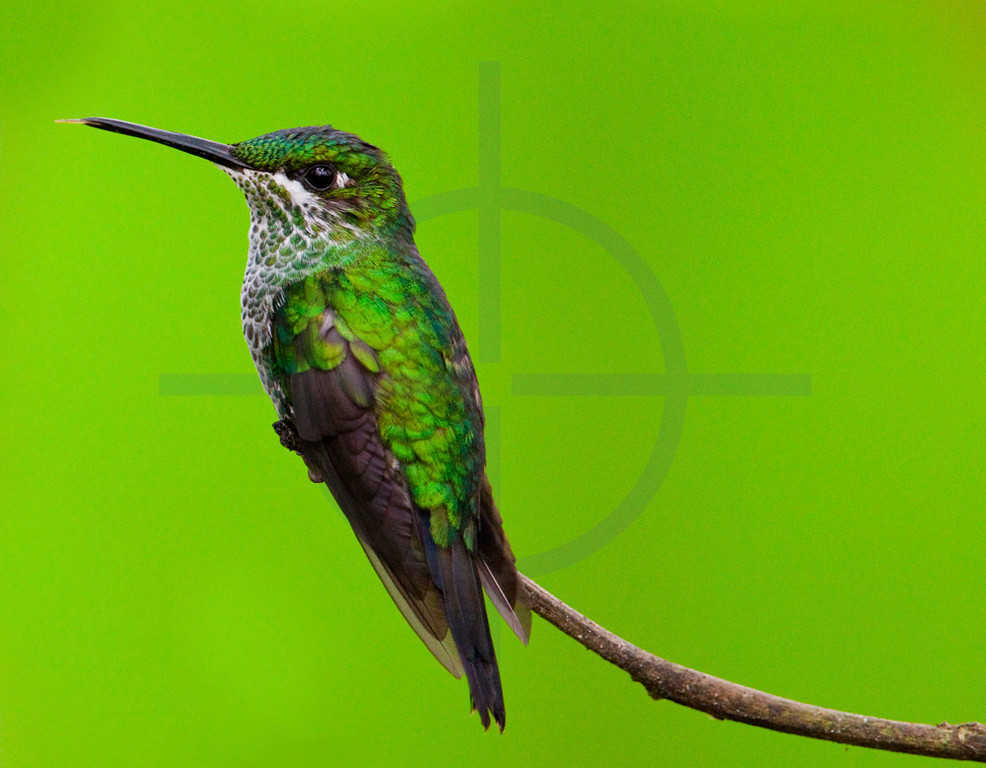 Green-crowned brilliant (female), Santa Elena Cloud Forest Reserve, Costa Rica