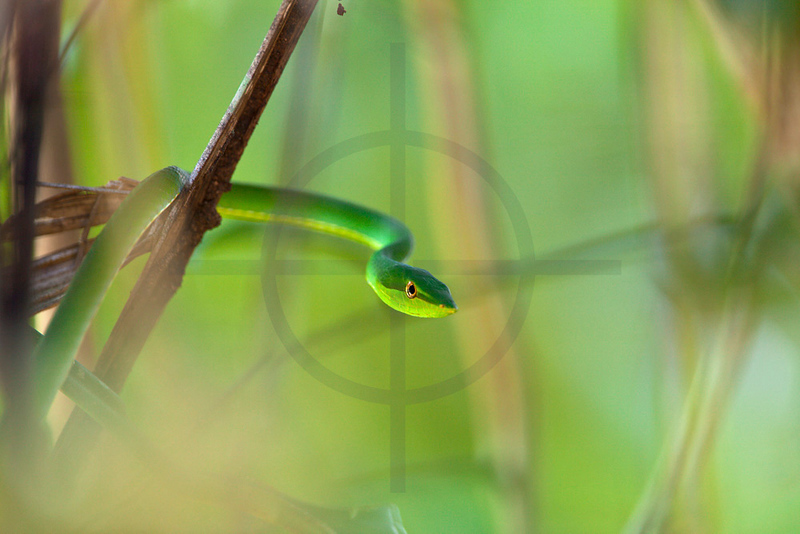 Green vine snake in trees,  Cuyabeno Wildlife Reserve, Ecuador