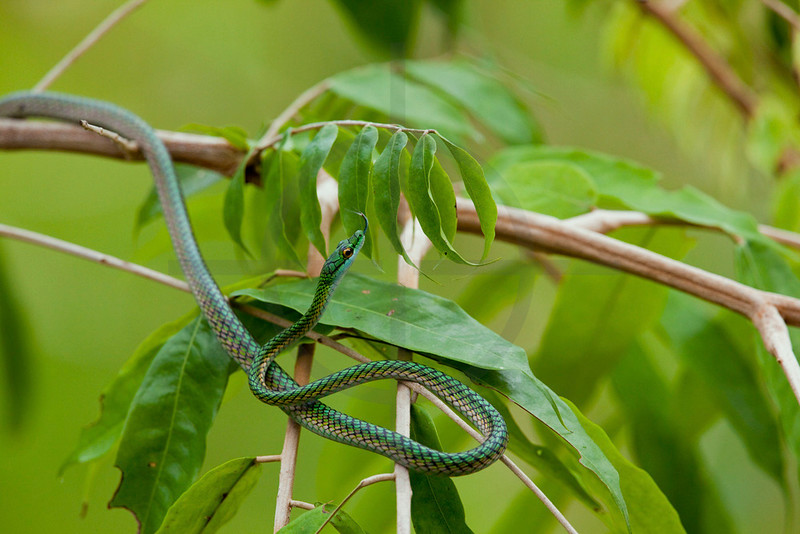 Parrot snake, Yasuni National Park, Ecuador