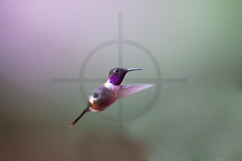 Purple-throated woodstar (male) hovering, Bellavista Cloud Forest Reserve, Ecuador