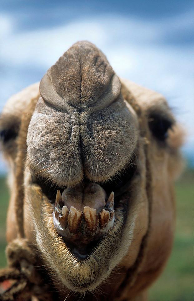 Nose and mouth of a dromedary, Rumuruti, Kenya