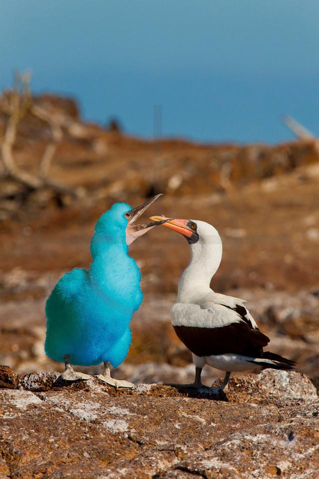 Out of place: Big Bird pays a surprise visit to the Galápagos Islands, Ecuador