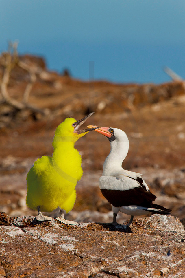 Out of place: Big Bird paying a suprise visit to the Galápagos Islands, Ecuador